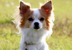 Чихуахуа стала самой настоящей полицейской собакой (Япония)