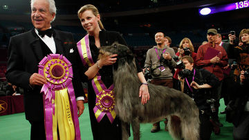 Дирхаунд Хикори признан самой красивой собакой на дог-шоу в США