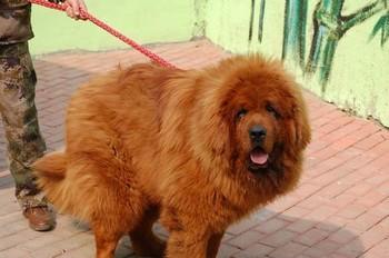 Новый рекорд стоимости щенка: тибетский мастиф за полтора миллиона долларов