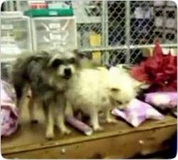 Голливудский бизнесмен клонировал своих собак за $310 000