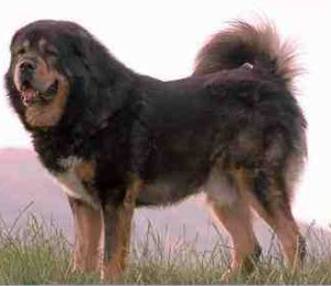 Самка тибетского мастифа родила 19 щенков
