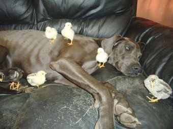 Дог взял на воспитание три десятка цыплят