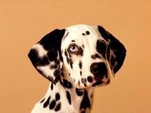 Собаки улучшают давление