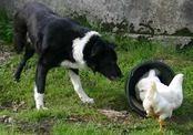 Собаку с тремя лапами назвали «Лучшей фермерской собакой года» (Великобритания)