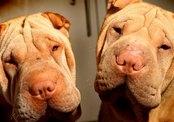 Пенсионерка тратит сбережения на пластические операции собакам