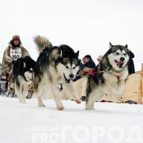 Под Казанью пройдут гонки на собаках
