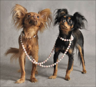 Мода на мини-собак (Улан-Удэ)
