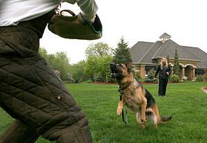 Собака-телохранитель за 230 тысяч долларов