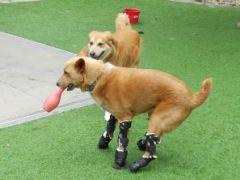 В США собаке впервые успешно протезировали все четыре конечности