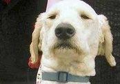 Собака собирает деньги на помощь больным раком
