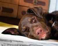 Собака по кличке Мэйбл засыпает от радости