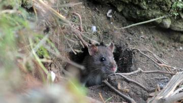 Массовый отлов собак приведет к размножению крыс (Москва)