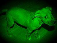 Корейцы создали светящихся собак