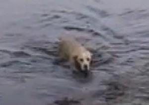 Собака плавает и играет с дельфином