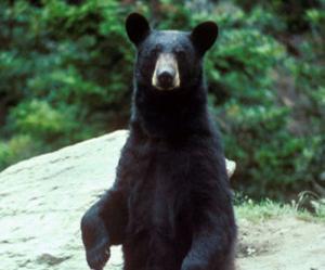 Спасая свою собаку, американка набросилась на медведя