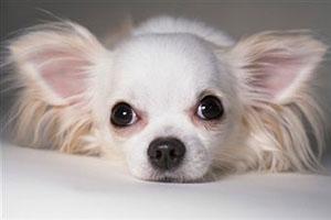 Маленькие собачки стали жертвами моды