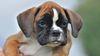 В Италии запретили купировать собакам уши и хвост