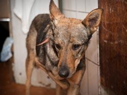 Собака-инвалид из тольяттинского приюта уехала в Канаду