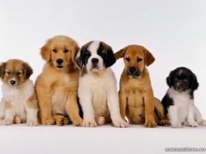 Собаки произошли от китайских волков