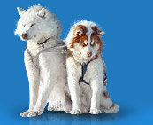 Собаки на Чукотке будут прочипированы
