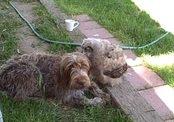 Сова почистила шерсть собаке