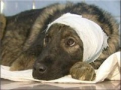 Ветеринары спасли щенка от пуль (Владивосток)