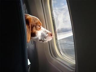 Собак станут пускать в салон самолета
