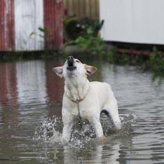 На Гавайах будут штрафовать собак за громкий лай (США)