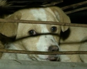Защитники животных спасли от съедения полтысячи собак (Китай)