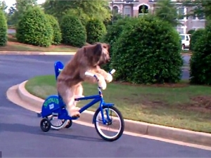 Собака научилась ездить на велосипеде (США)