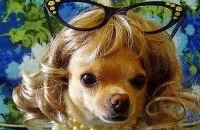 Новое слово в собачьей моде: парики для домашних питомцев