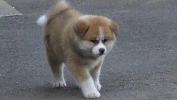 Японский премьер подарит Путину щенка акита-ину