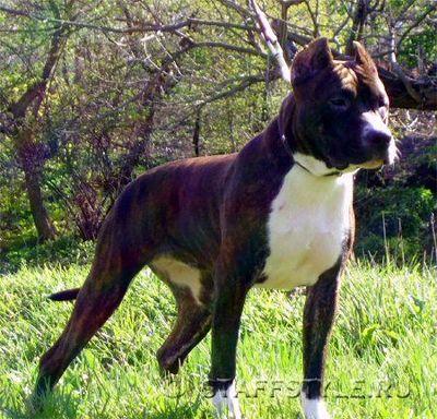 Самая красивая по версии Facebook собака живёт в Сан-Франциско (США)