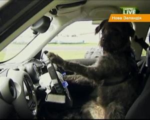 Собака-водитель автомобиля (Новая Зеландия)