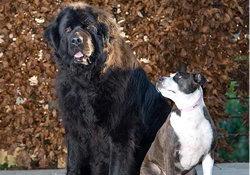 Собака породы ньюфаундленд спасла свою подругу породы стафф (Великобритания)