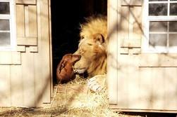 Дружба собаки и льва - новый видео-хит в интернете (США)