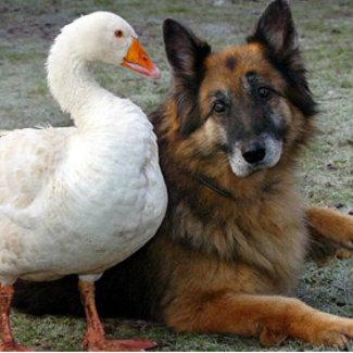 Дружба с гусём спасла собаку от усыпления