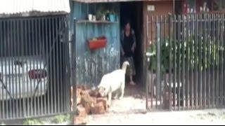 Трудолюбивая собака (Чили)