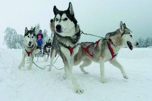 В программу Олимпийских игр могут включить гонки на собаках