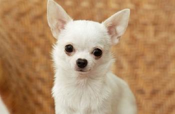 Мэром Сан-Франциско назначили собаку породы чихуахуа