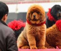 Щенок тибетского мастифа продан в Китае за 2 миллиона долларов