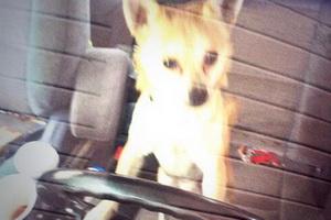 Собака породы чихуахуа угнала машину и попала в ДТП