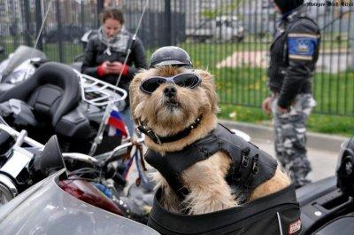 В Международном мотоклубе собак появилась первая собака из России